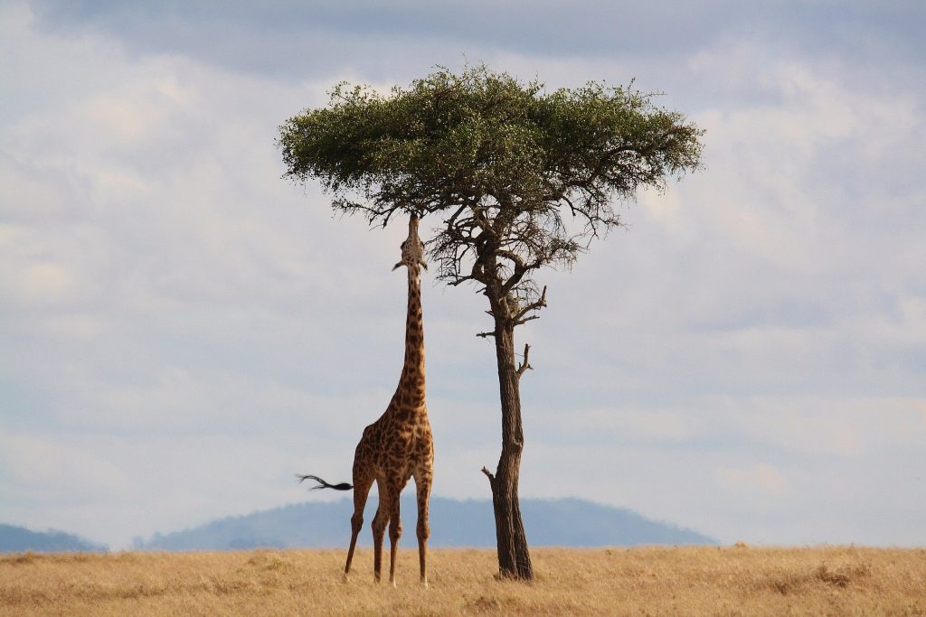 mejor época para viajar a Kenia